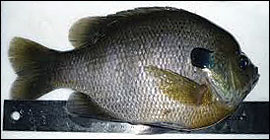 Food-sized male bluegill