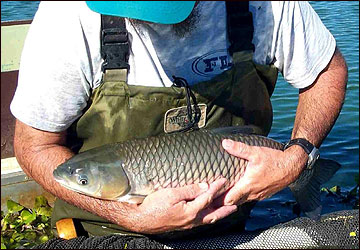 Grass carp are a nonnative, plant-eating fish