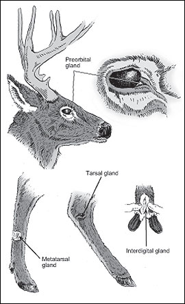 Deer have four sets of external glands used primarily for communication