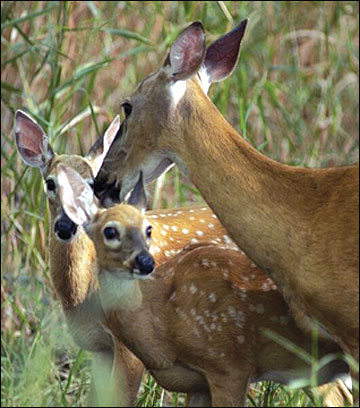 Most adult does produce twin fawns