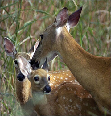 Female deer require more protein in their diet during the spring
