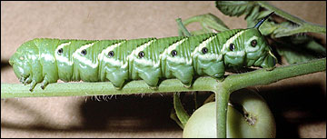 Link to Caterpillars in Your Yard and Garden