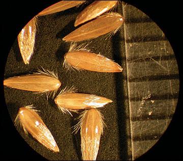 Canarygrass, reed
