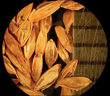 Bluegrass, annual