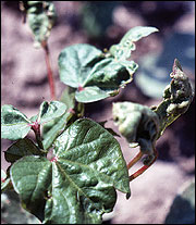 Thrips feeding damage