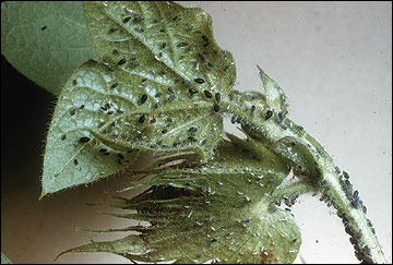 Cotton aphids