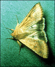 Cotton bollworm moth