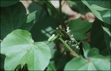 Bollworm terminal damage