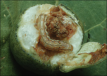 Bollworm larva and boll damage