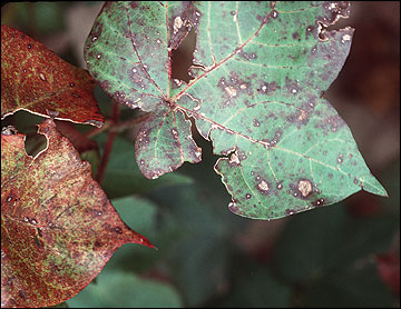 Leasions on leaves