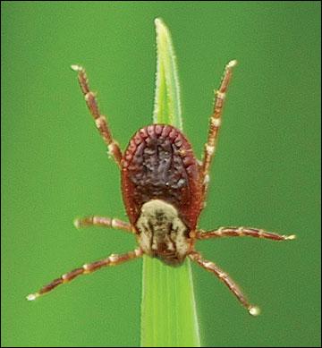 Ticks may use an ambush strategy