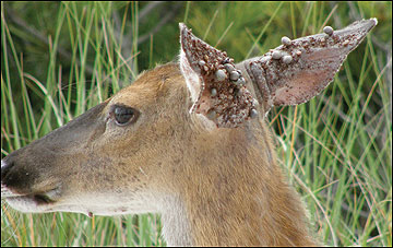 Deer can harbor hundreds of engorged ticks behind their ears