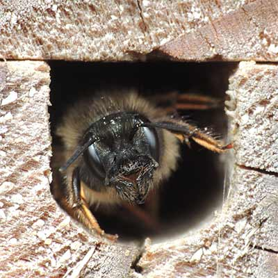 A mason bee looking out from a tunnel in a block of wood