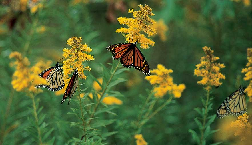 Monarch butterflies on milkweed plants