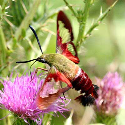 A snowberry clearwing moth