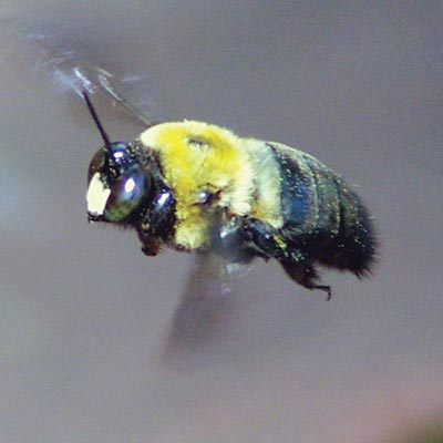 A carpenter bee in flight