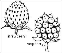 Aggregate fruits