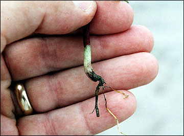 Rotten areas on roots