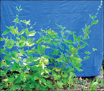 Desmodium leaves