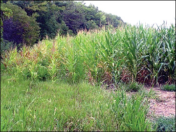 Rows of corn adjacent to mature trees do not typically produce a high yield