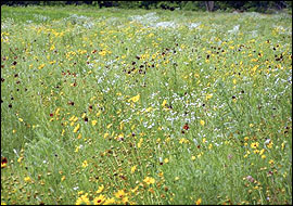 Ragweeds and partridge pea were also common in the field borders