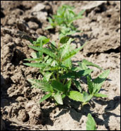 Close-up of young hemp plants.
